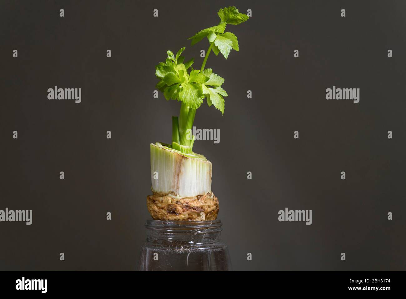 London, UK.  24 April 2020.  Celery stalks (Apium graveolens) grow from a discarded end suspended in water.  During the coronavirus pandemic lockdown, the public is reported to be at home connecting more with nature, noticing more garden wildlife and enjoying more cooking from scratch.  Credit: Stephen Chung / Alamy Live News Stock Photo