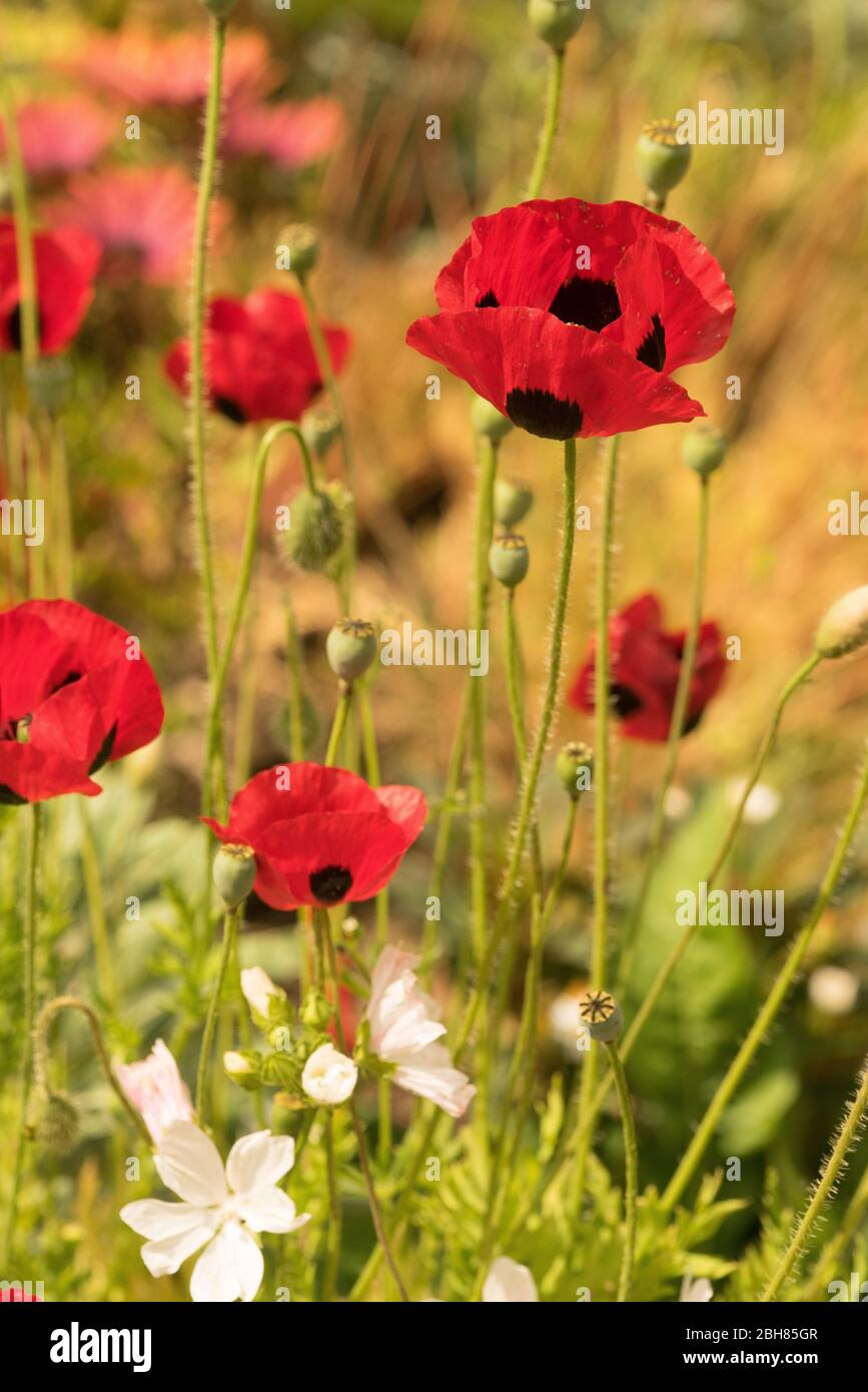 Papaver commutatum Ladybird red poppies and white perennial geraniums in an english garden; Stock Photo