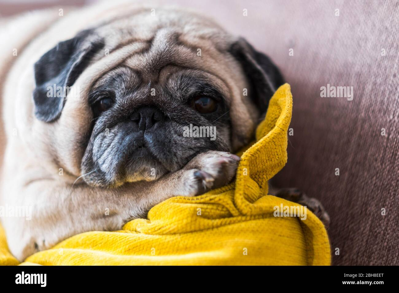 Old nice funny pug looking to you from the couch - lazy lifestyle for affective lovely puppy at home - domestic dog with love feeling Stock Photo
