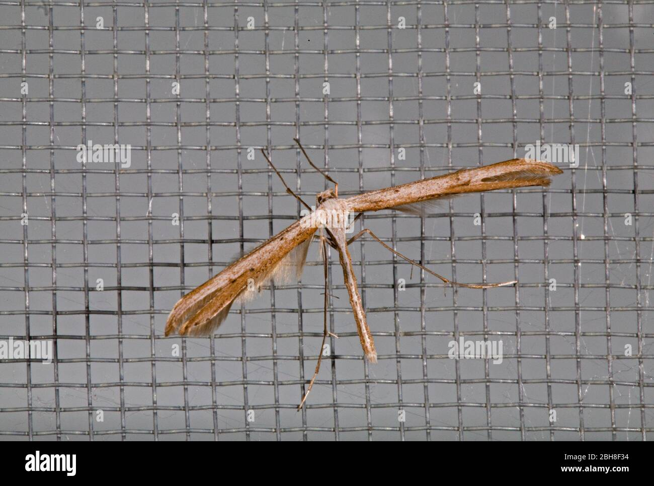 Portrait of a Plume Moth (Hellinsia homodactyla), a member of the micromoth family and only about half an inch long. Stock Photo