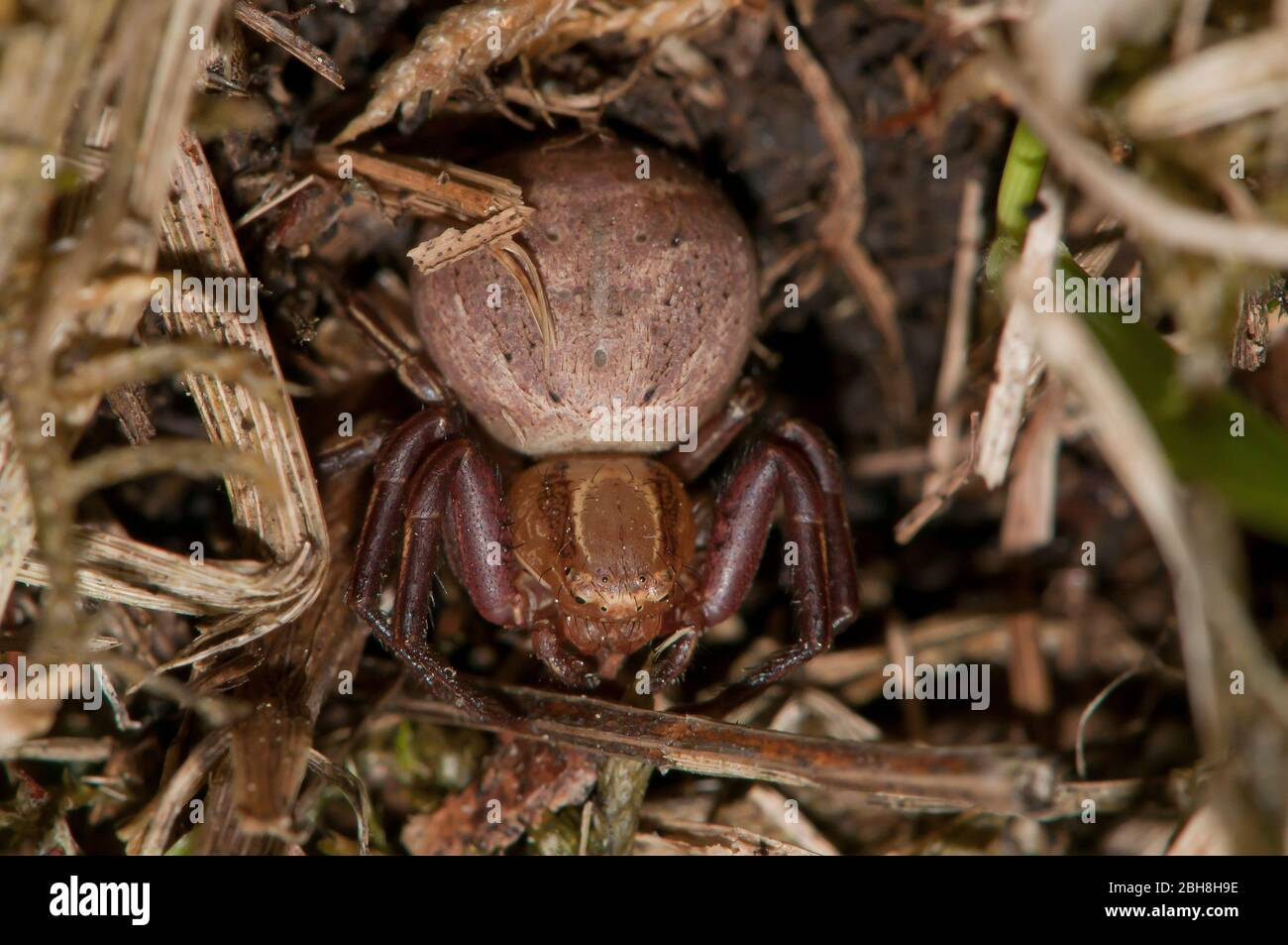 Bush crab spider, Xysticus cristatus, Xysticus viaticus, Bavaria, Germany Stock Photo