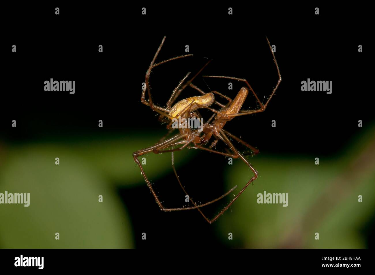 Common spider-spider, Tetragnatha extensa, hanging from a thread while mating, Bavaria, Germany Stock Photo