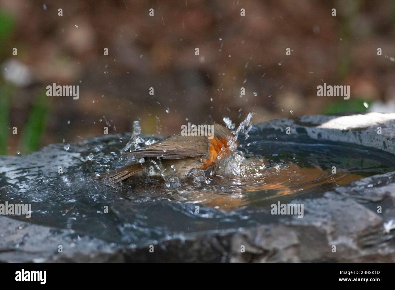 London, UK, 24 April 2020: a robin washes in a slate birdbath in a garden in Clapham. Anna Watson/Alamy Live News Stock Photo