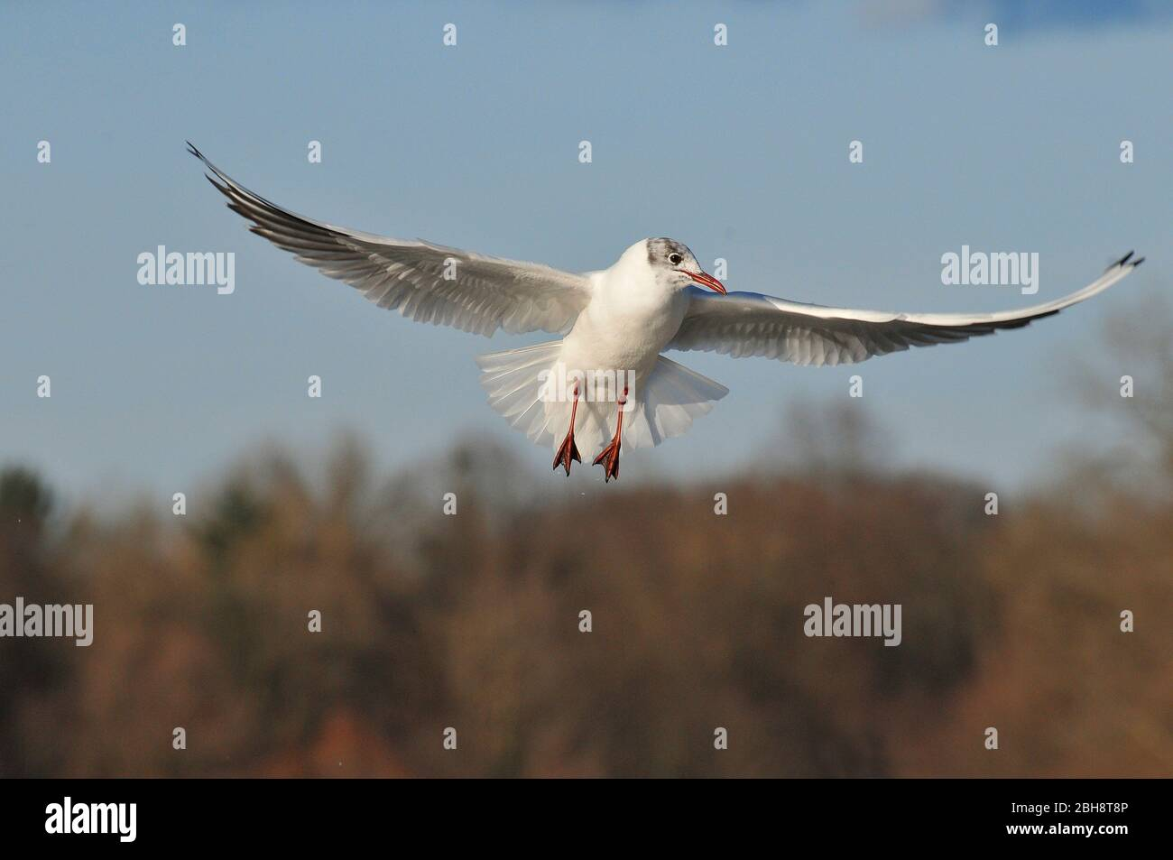 Black-headed Gull, Chroicocephalus ridibundus, Larus ridibundus, at the river Isar, Munich, Bavaria, Germany Stock Photo