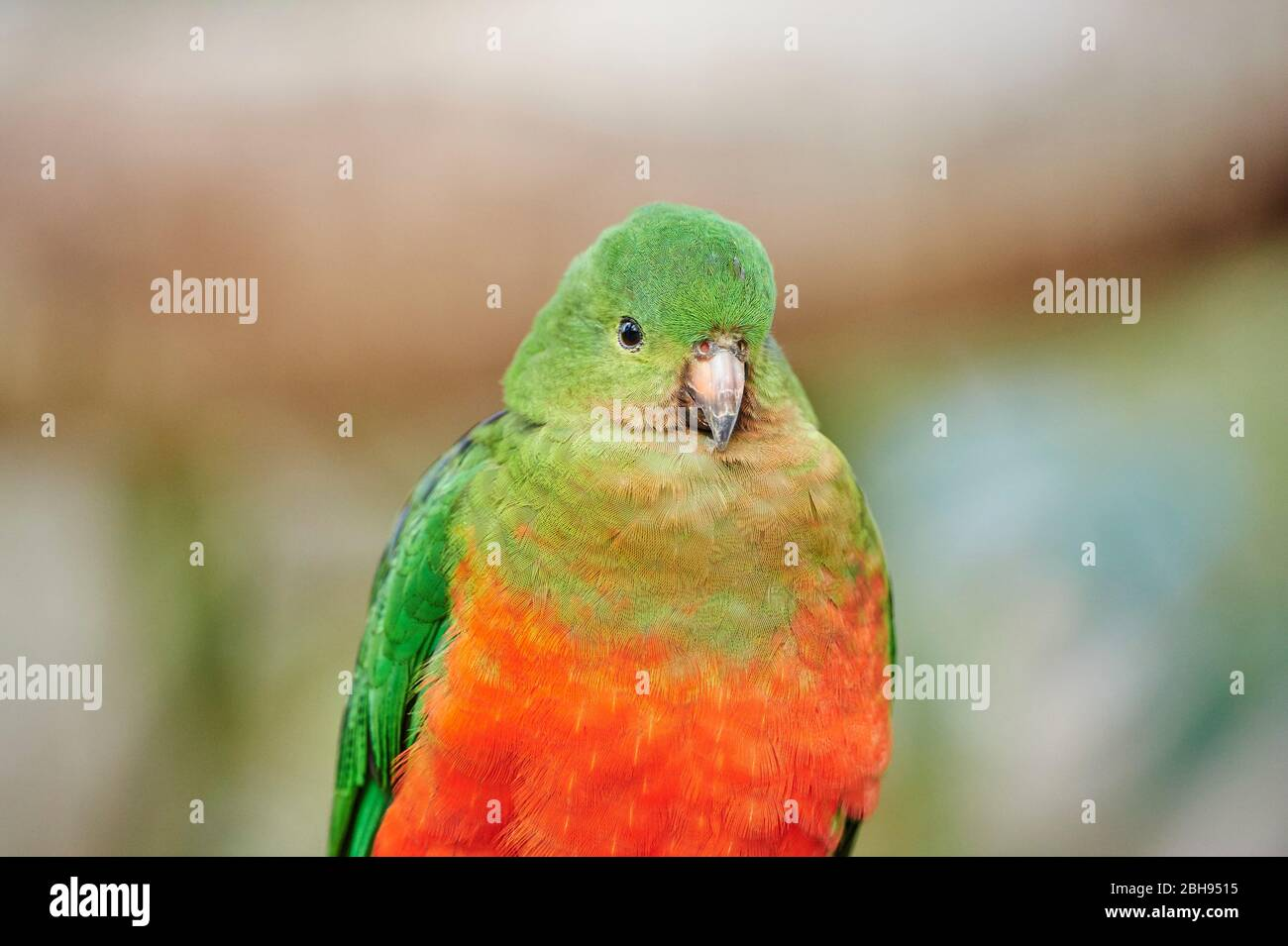 Australian king parrot (Alisterus scapularis), female, head-on, sitting, looking at camera Stock Photo