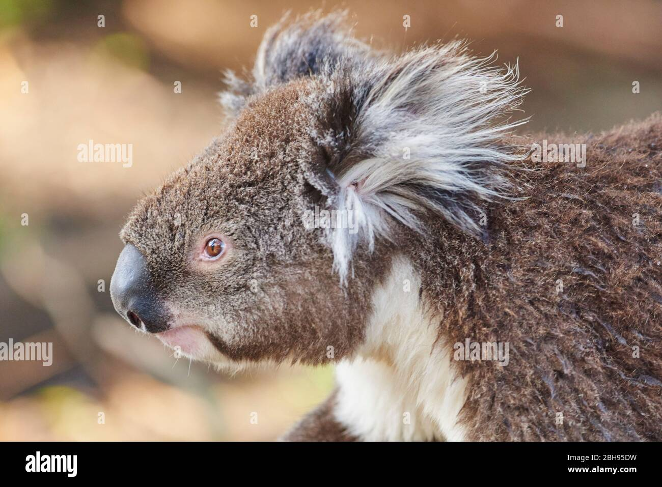 Koala (Phascolarctos cinereus), portrait, lateral Stock Photo