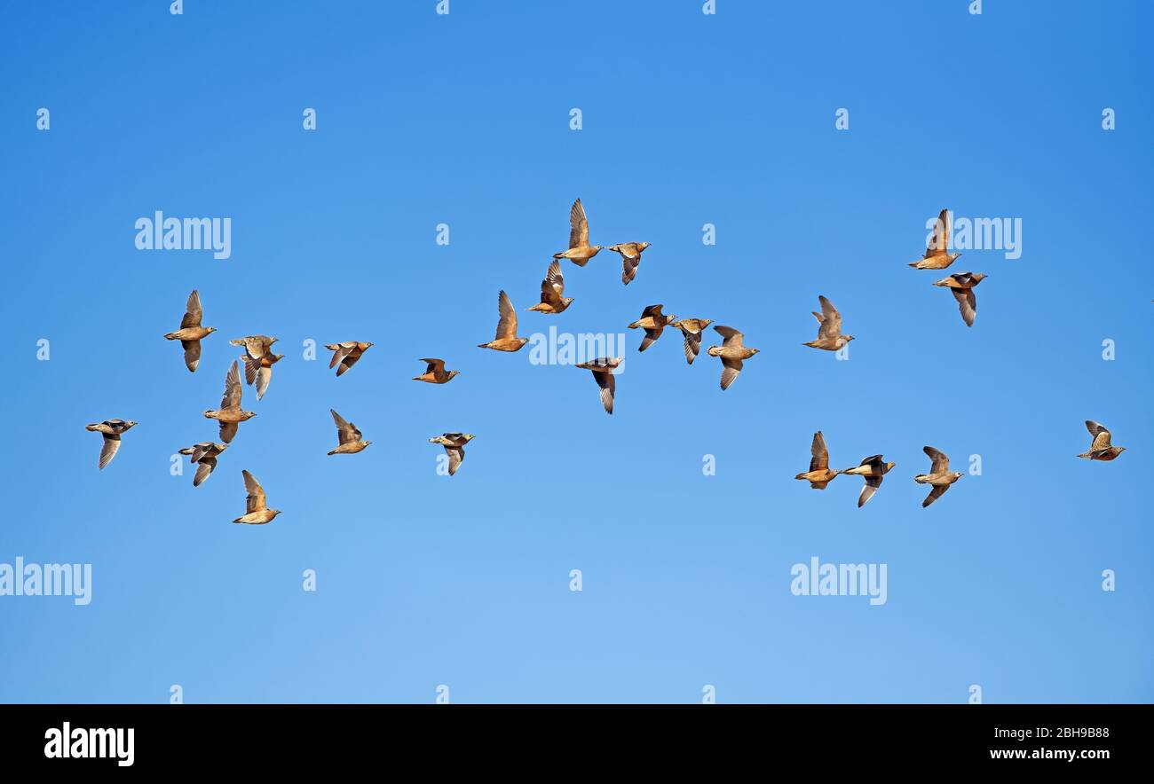Burchell's sandgrouses (Pterocles burchelli) in flight, Kgalagadi Transfrontier Park, South Africa Stock Photo
