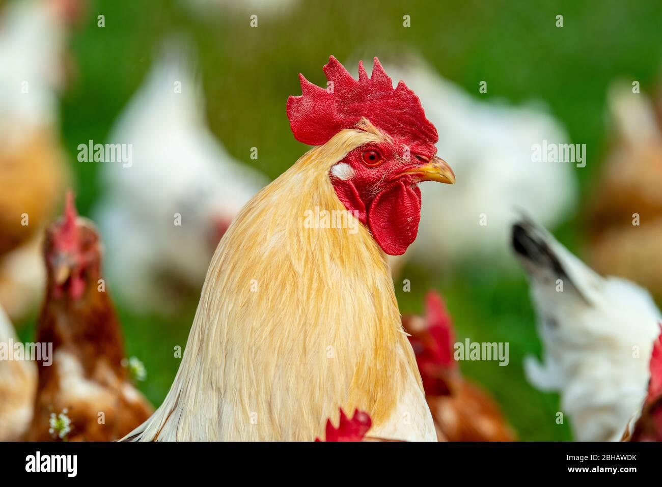 Freilaufende Hühner im Gehege Stock Photo