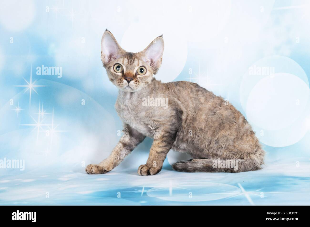 Devon Rex Tabby High Resolution Stock Photography And Images Alamy