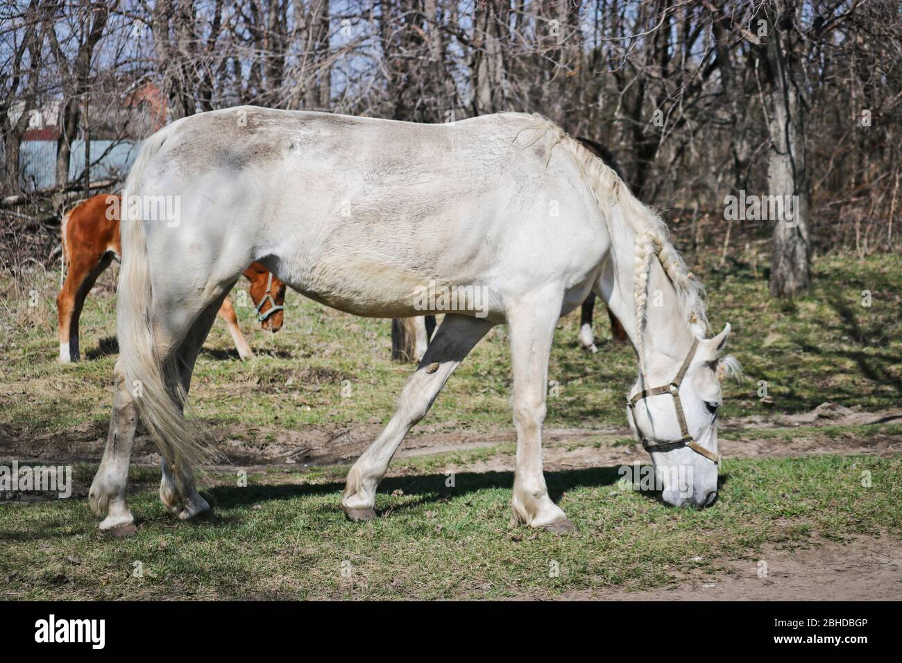 Old Horse Old Nag High Resolution Stock Photography And Images Alamy