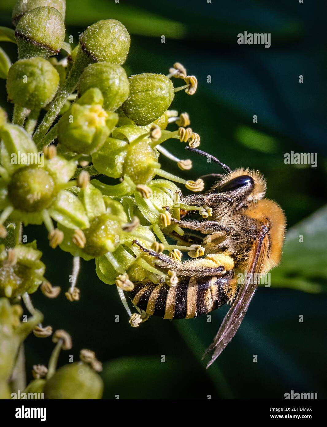 Ivy Bee Colletes hederae - a species of solitary miner bee - feeding on ivy flower Hedera helix - Somerset UK Stock Photo