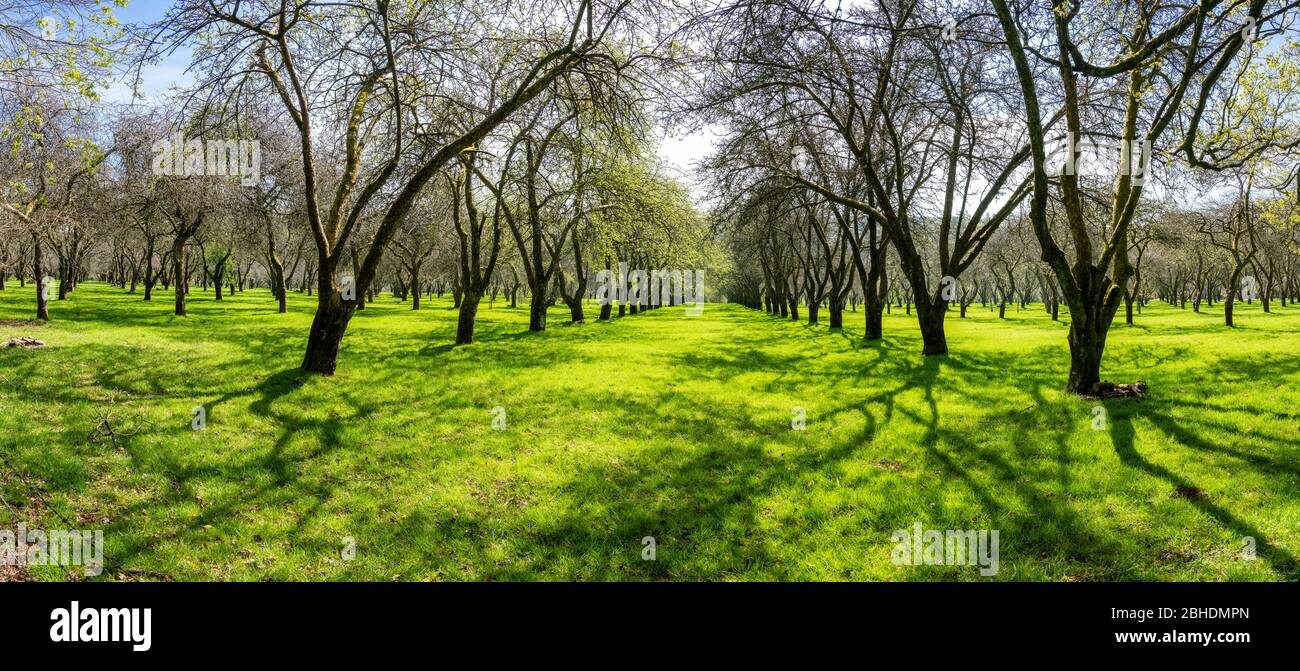 Apple orchard in early spring with rows of old unpruned trees - Somerset UK Stock Photo