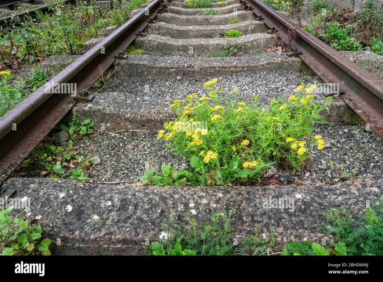Oxford Ragwort Senecio squalidus is a common coloniser of railway tracks and sidings throughout the UK Stock Photo