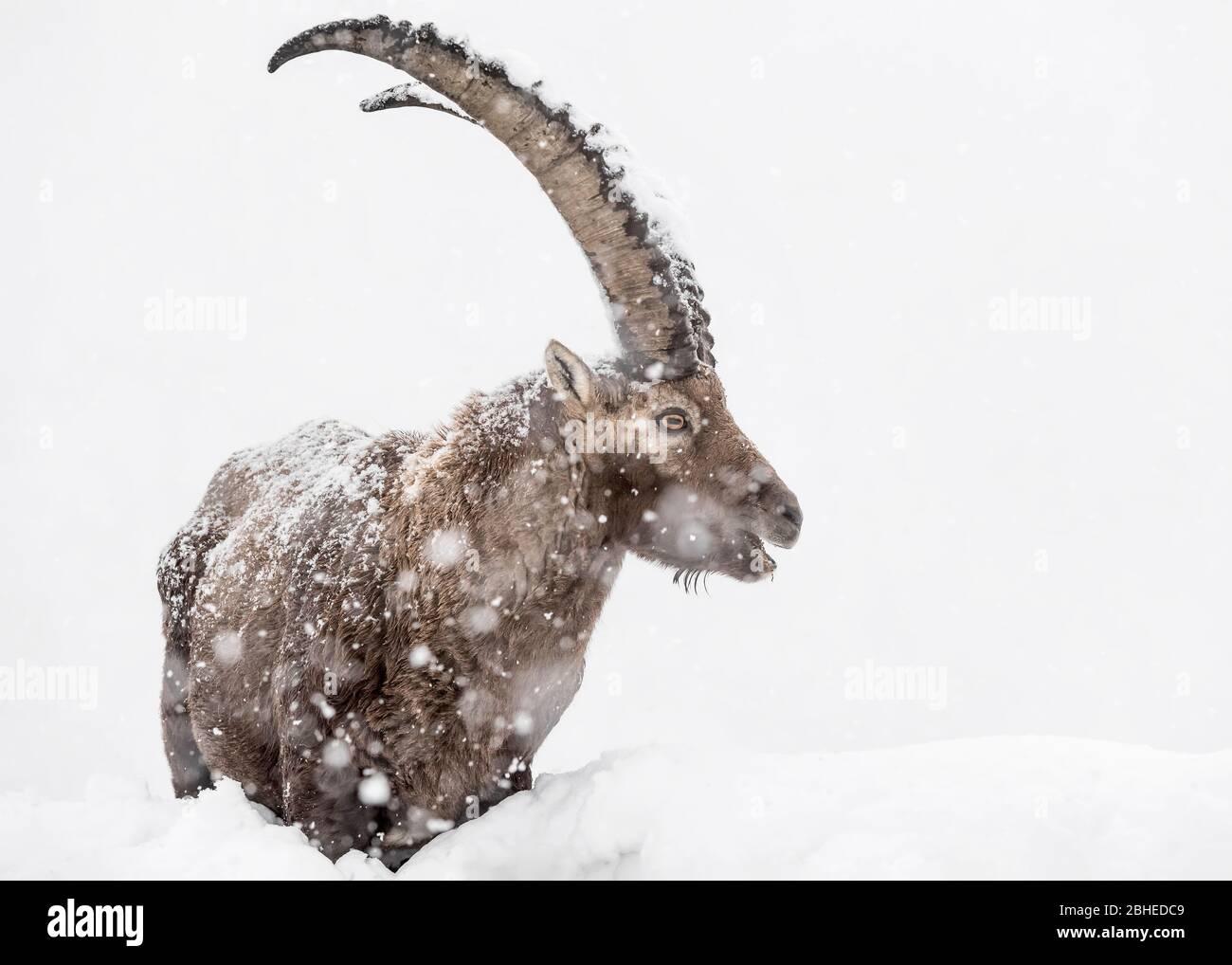 Call of the wild, portrait of Alpine ibex under snowstorm (Capra ibex) Stock Photo