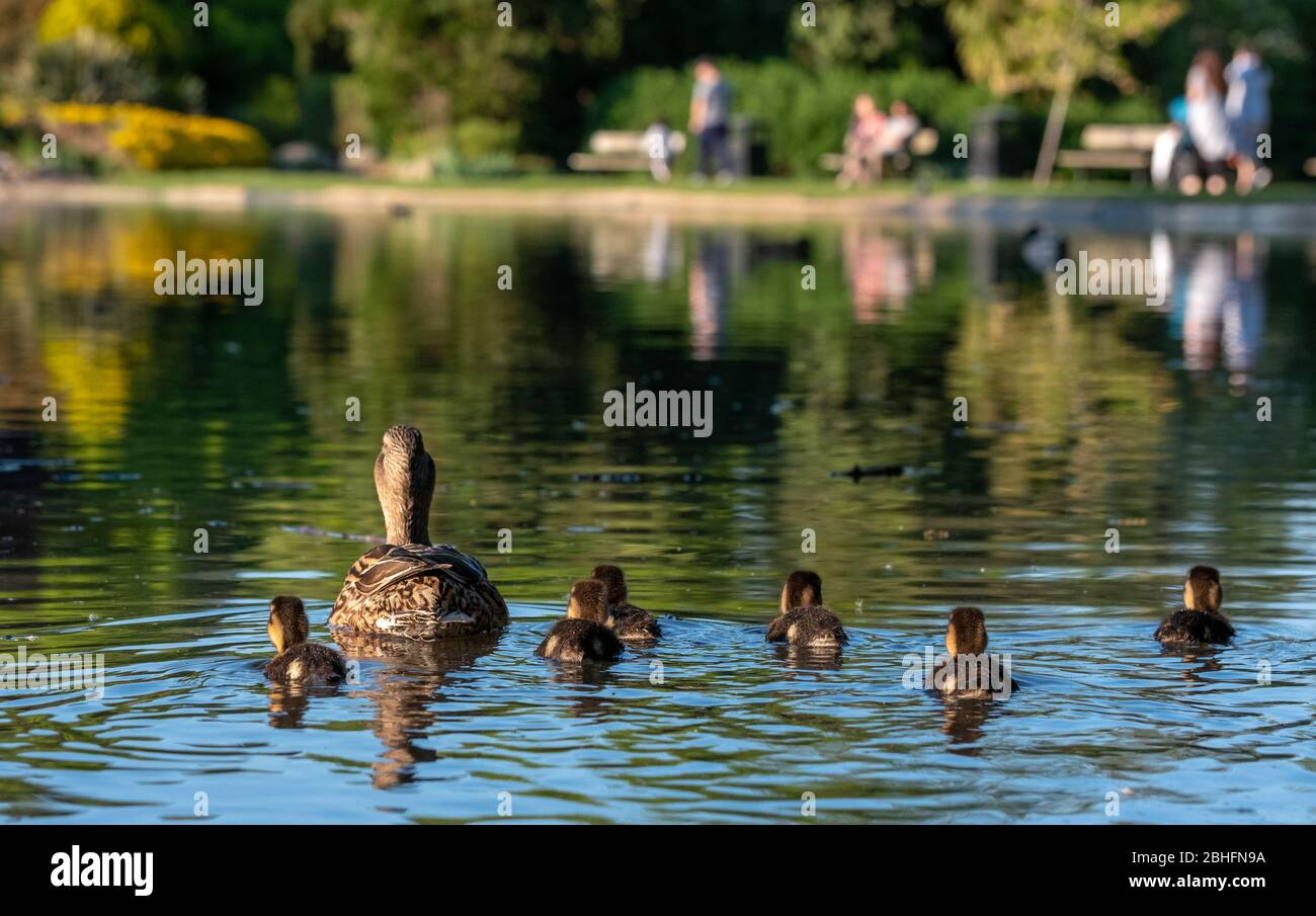Duck with its ducklings at the duck pond at Pinner Memorial Park, Pinner, Middlesex, north west London UK, photographed on a sunny spring day. Stock Photo