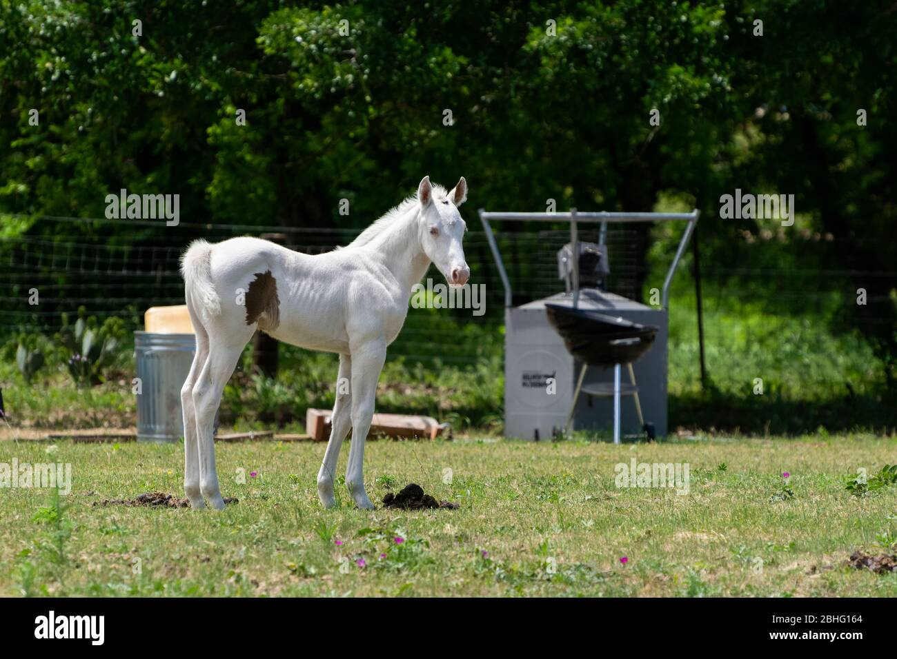 Beautiful Snow White Albino Baby Horse Standing In A Ranch Pasture With Some Trees A Grill A Trash Can And Other Junk In The Background Stock Photo Alamy