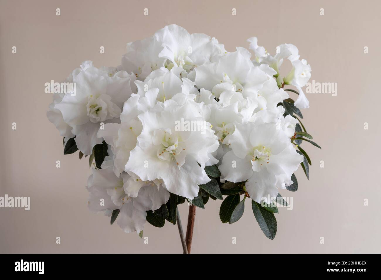 White azalea flowers in full bloom Stock Photo