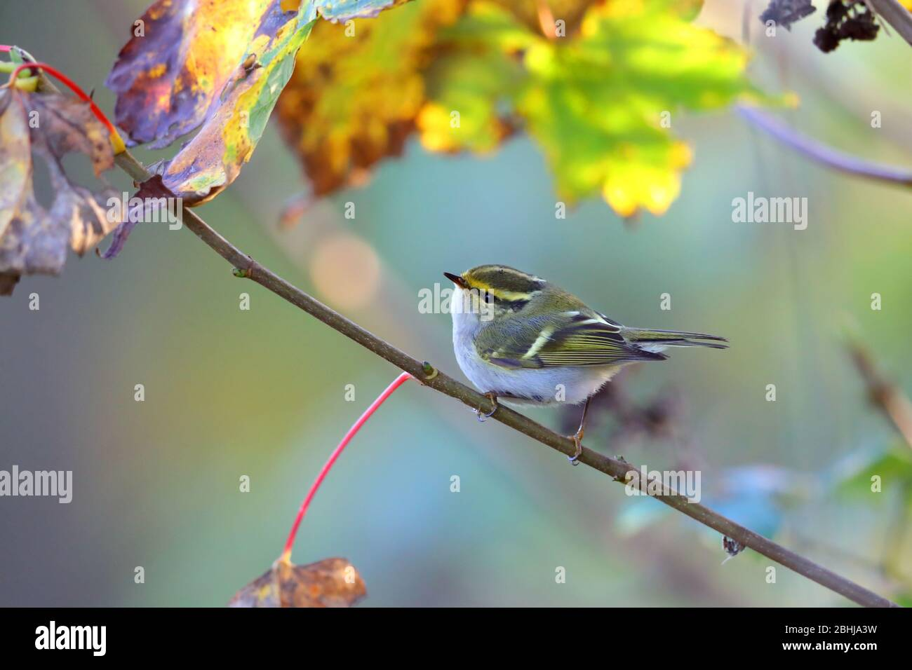 A Pallas's Leaf Warbler or Pallas's Warbler (Phylloscopus proregulus) on the coast of Essex in November Stock Photo