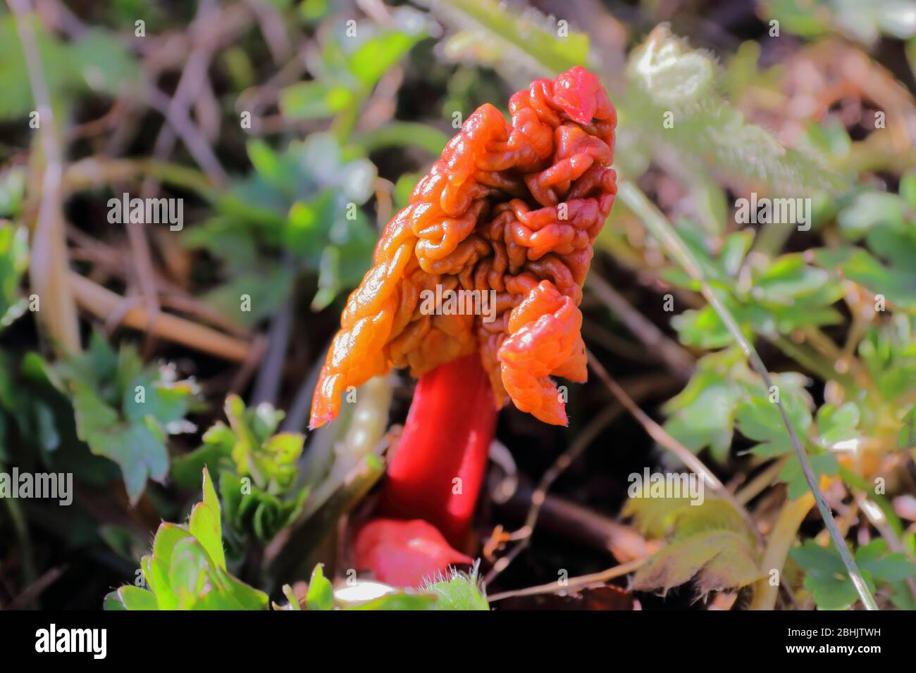 Close-up of young rhubarb (Rheum rhabarbarum) shoot sprouting in early spring Stock Photo
