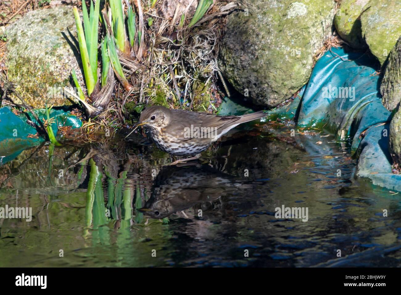 Thrush singer, singer - a species of medium-sized bird from the thrush family, inhabiting Eurasia. Stock Photo