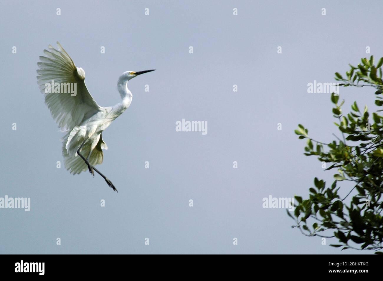 A wild, white, little egret (Egretta garzetta) in flight at Ancol Bird Park, Ancol Dreamland, North Jakarta, Indonesia, in 2005. Stock Photo
