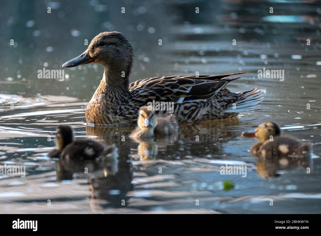 Duck and ducklings in front of the fountain at the lake at Pinner Memorial Park, Pinner, Middlesex, London UK, photographed on a sunny spring day. Stock Photo