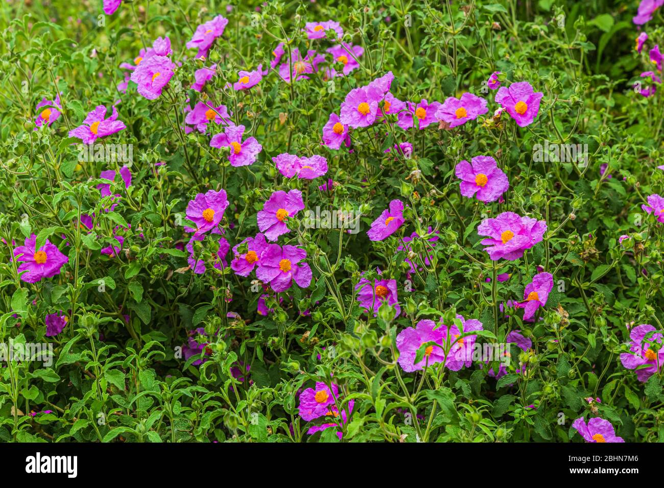 Shrubby Rock Rose Stock Photos Shrubby Rock Rose Stock Images
