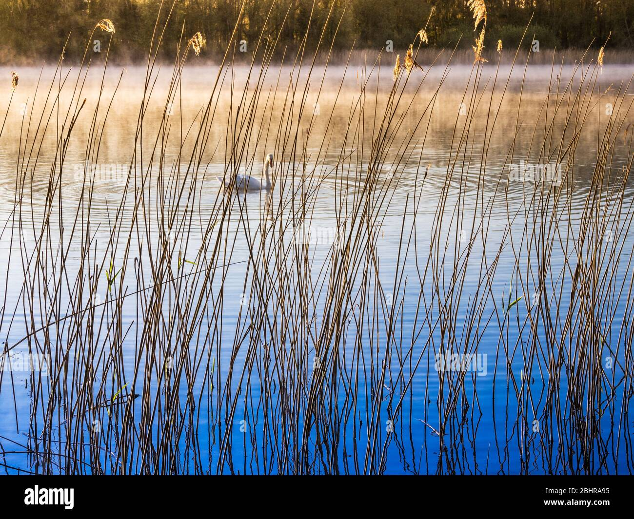 A simple, minimalist image taken through reeds at the edge of a lake on an early misty morning. Stock Photo