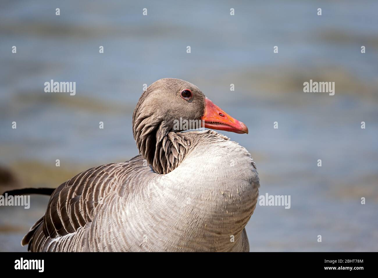 portrait of a graylag goose with a eye inflammation Stock Photo