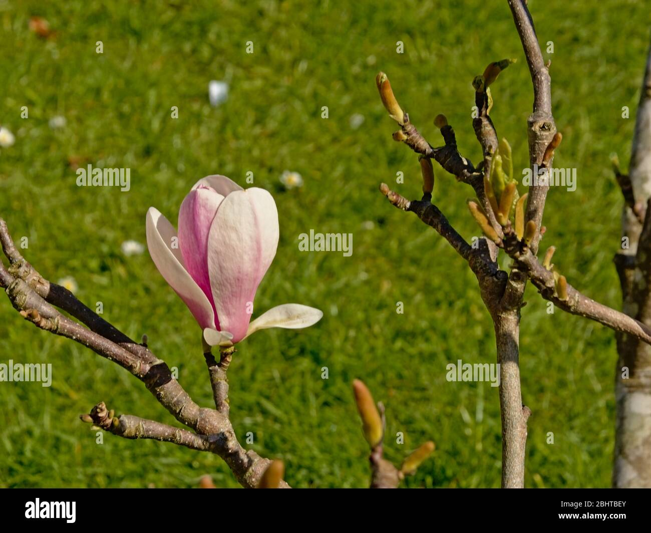 Pink magnolia flower in the garden , selectiv focus with blurry grass background Stock Photo