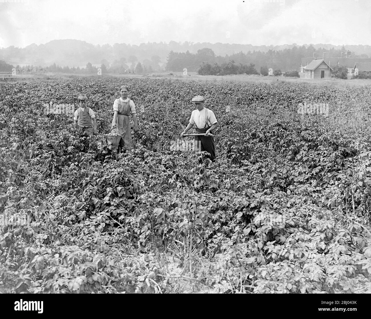 The Potato Crop Sandy Lodge Golf Course. - 10 July 1916 Stock Photo