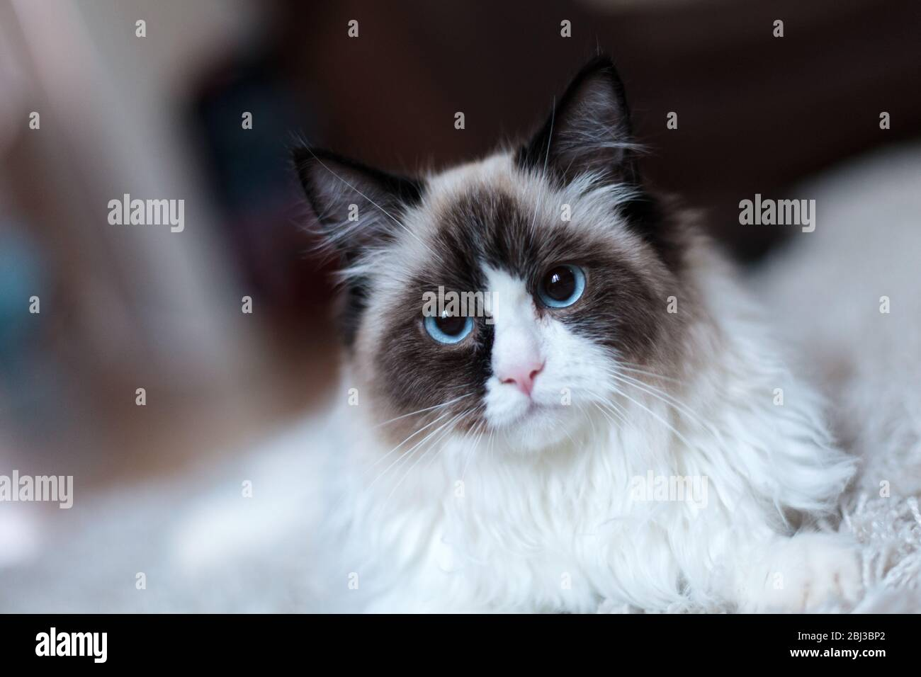 A large bicoloured, male, ragdoll cat relaxing on a rug in a domestic dwelling. The cat has vivid blue eyes and white and brown fur Stock Photo