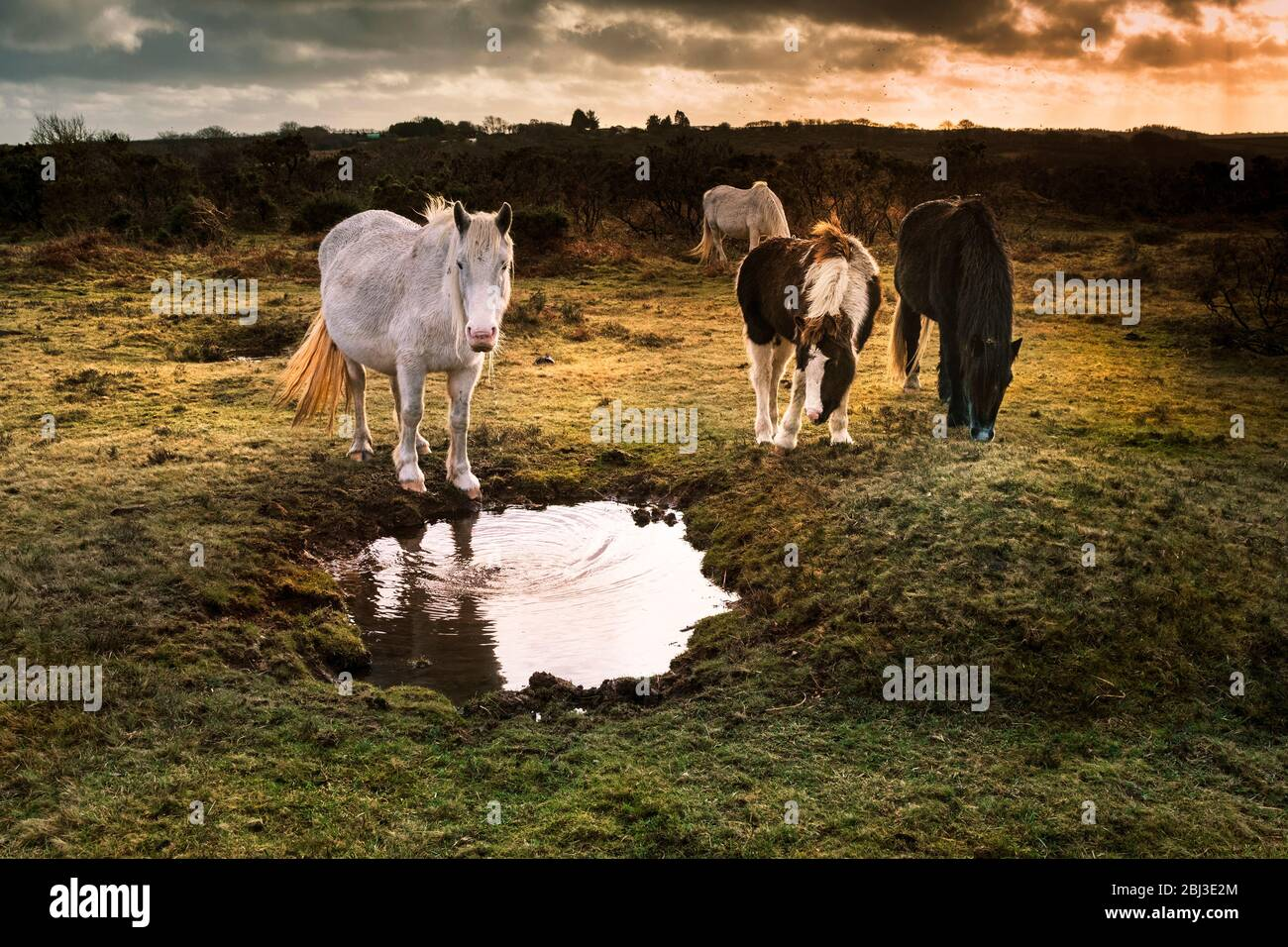 Wild Bodmin Ponies on Goonzion Downs on Bodmin Moor in Cornwall. Stock Photo