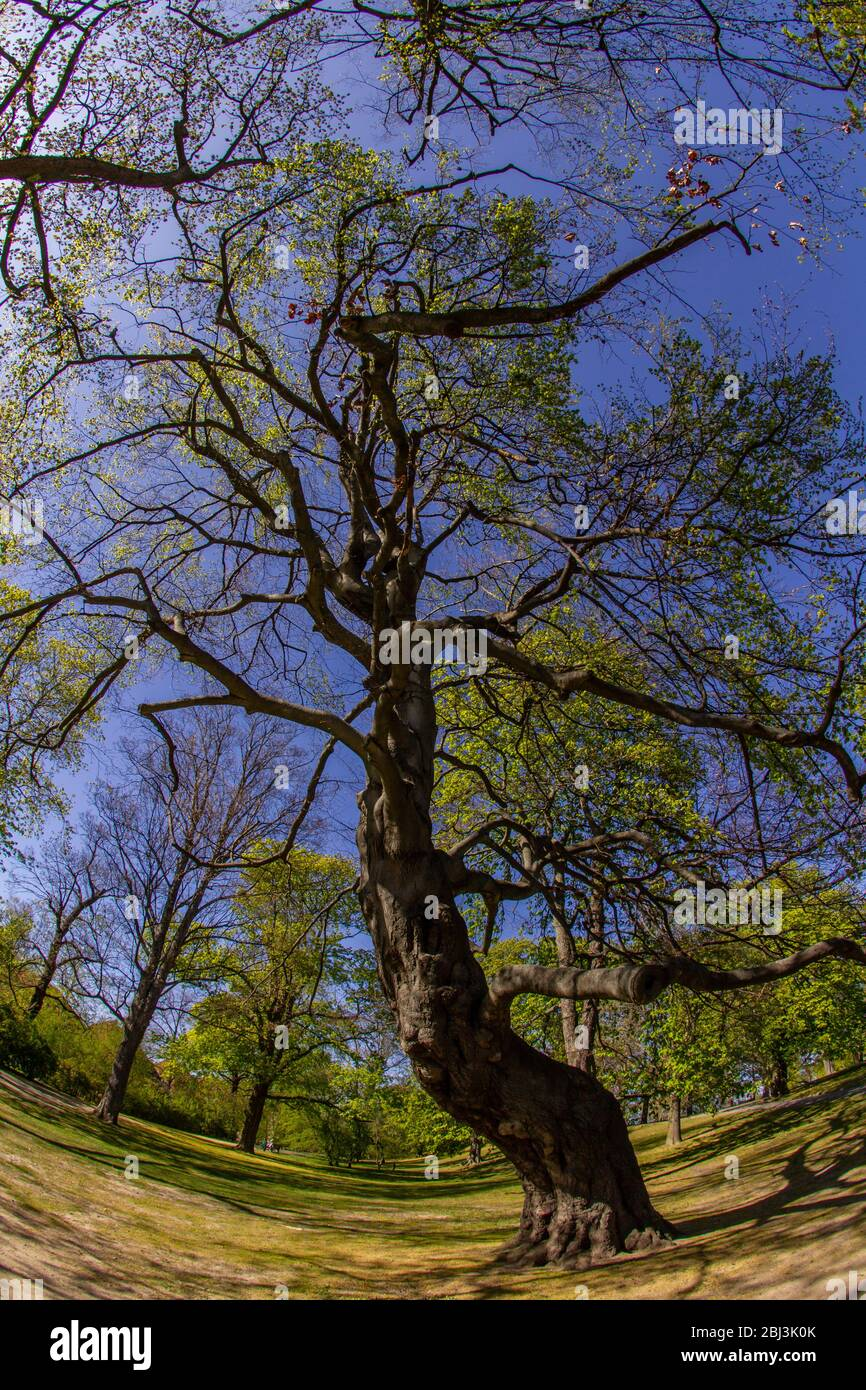 Ugly Tree High Resolution Stock Photography And Images Alamy Over 2,906 ugly tree pictures to choose from, with no signup needed. https www alamy com ugly tree nature awakening fisheye lens shot while springtime in brunswick city park with fair weather and blue sky image355351939 html