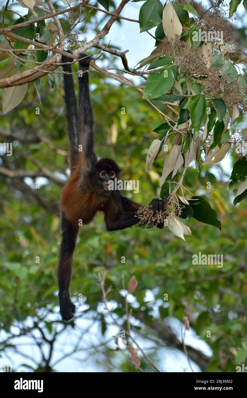 Spider Mokey in Corcovado National Park Stock Photo