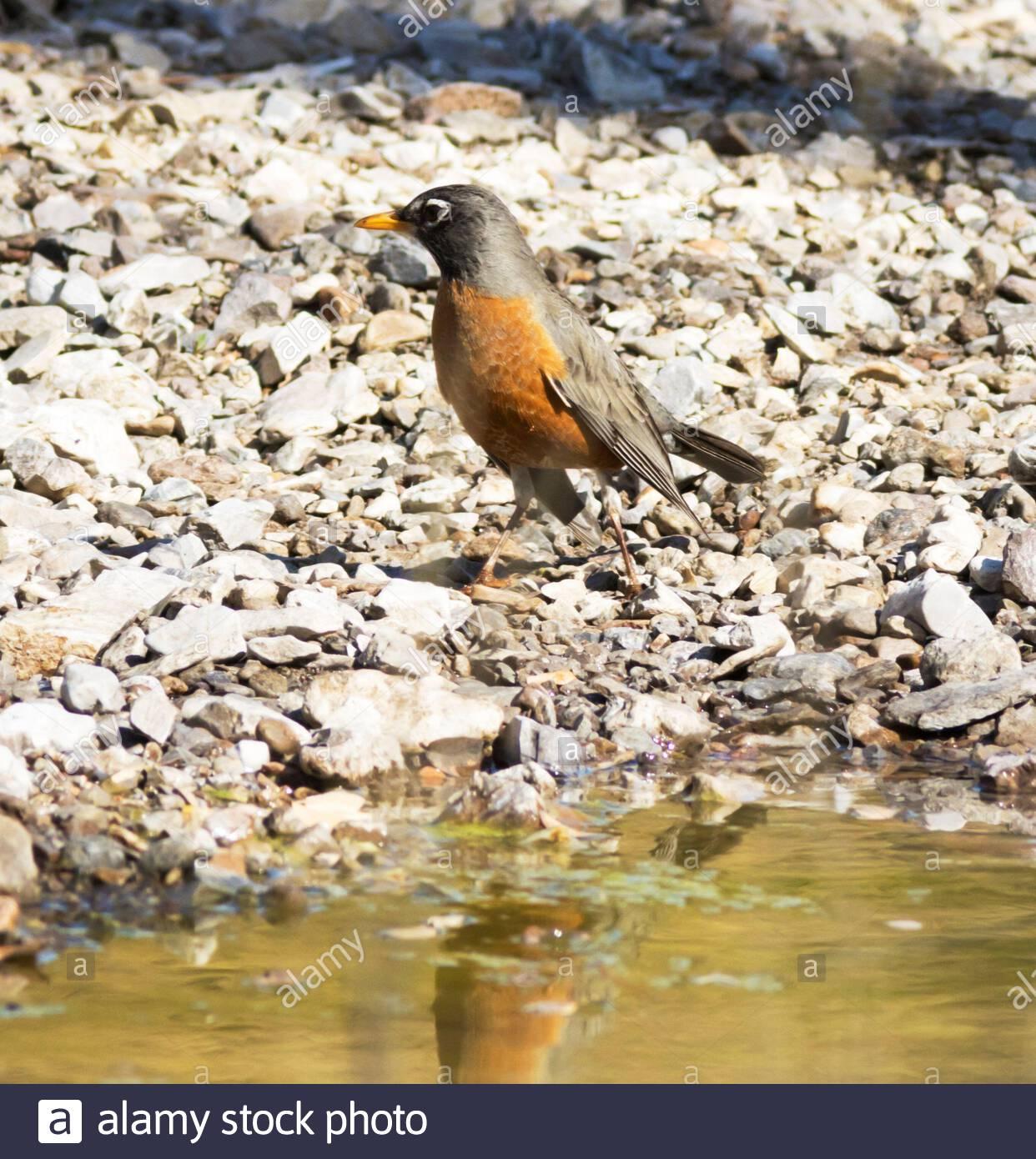 American Robin, Turdus migratorius, standing on rocks near creek in Arizona USA Stock Photo