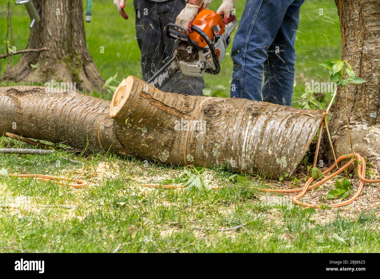 Wood cutter, arborist using an electric chainsaw chopping up a tree Stock Photo