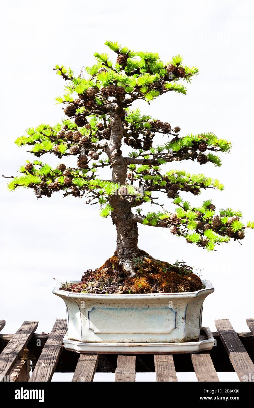 Page 3 Bonsai Tree Display High Resolution Stock Photography And Images Alamy