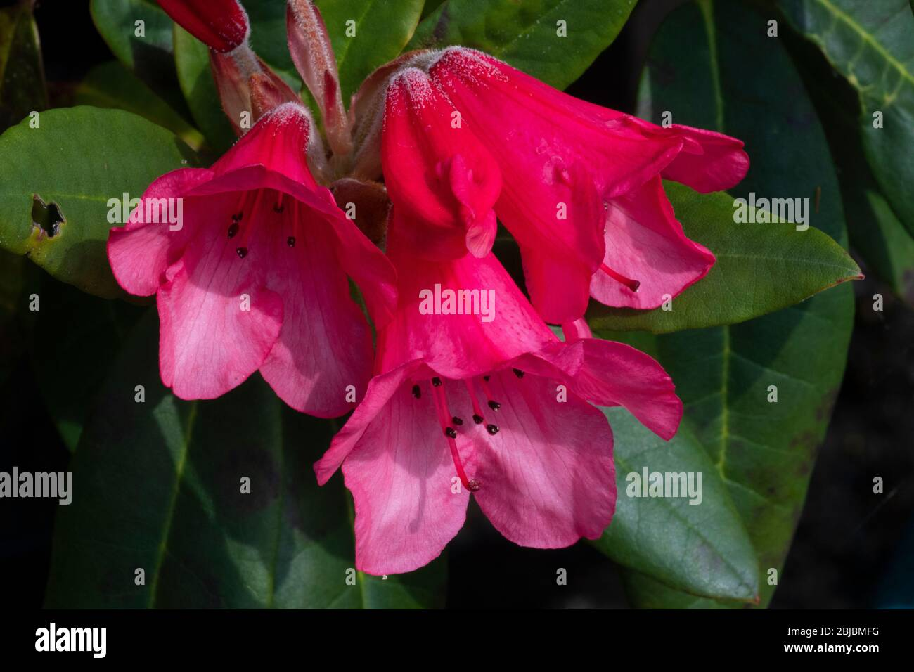 Rhododendron 'Winsome (Humming Bird x griersonianum), flowers Stock Photo