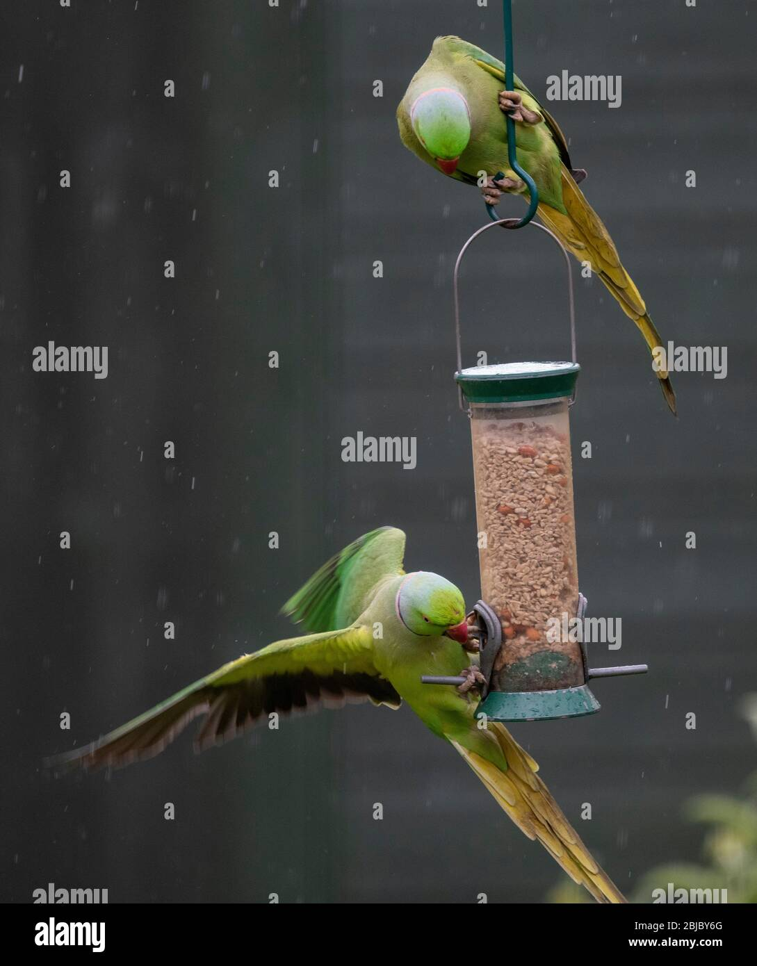 Ring Necked Parakeets feed in a rain shower on a hanging garden bird feeder, London, UK Stock Photo