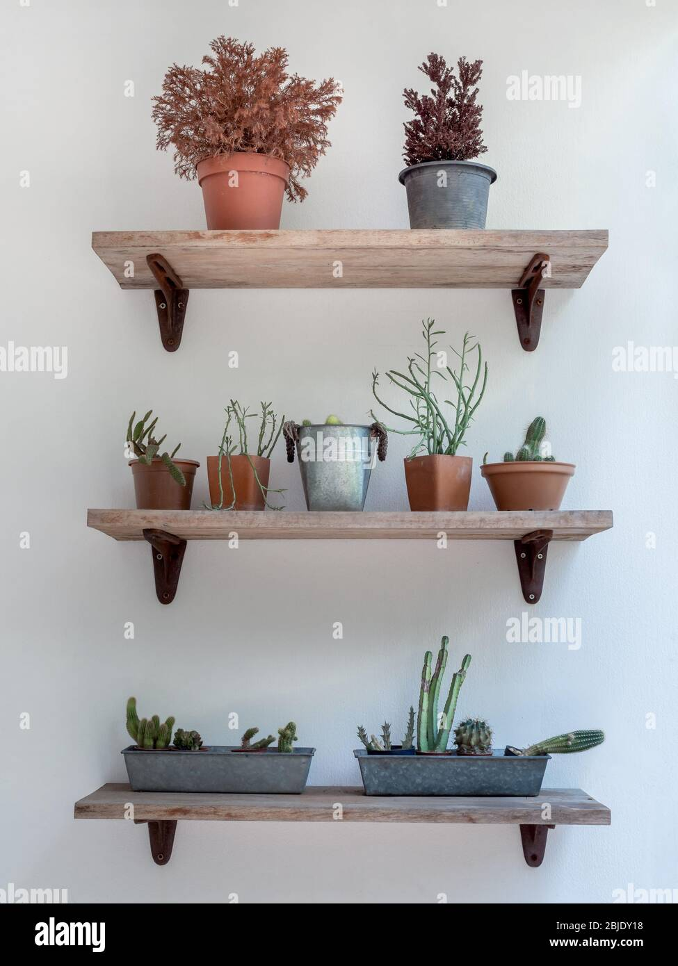 Green Cactus Succulent And Plants In Pots On Three Wooden Shelves On White Wall Background Vertical Style Stock Photo Alamy