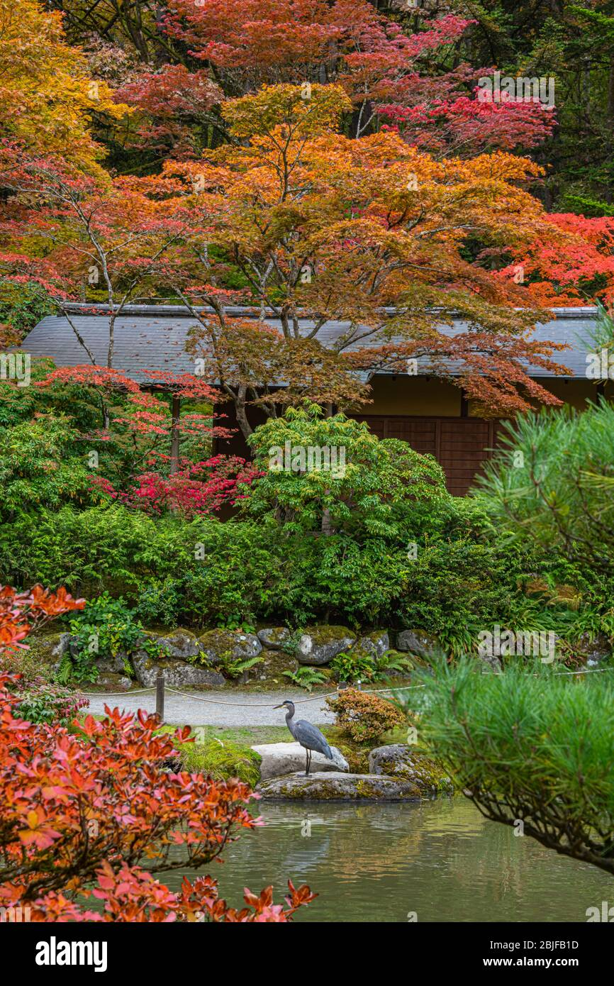 Great Blue Heron on Edge of Japanese Garden Pond in Brilliant Fall Foliage, Vertical Stock Photo