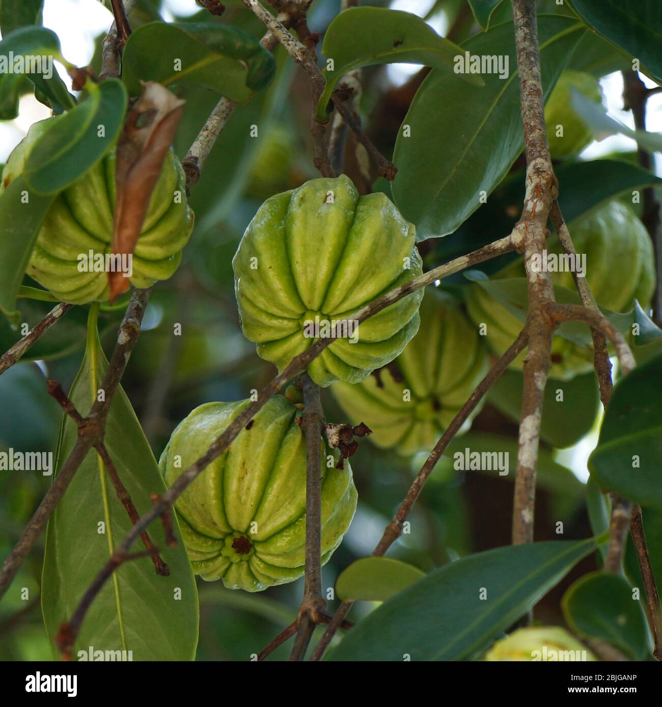 Bunch Of Green Garcinia Cambogia Hanging In A Tree Stock Photo Alamy