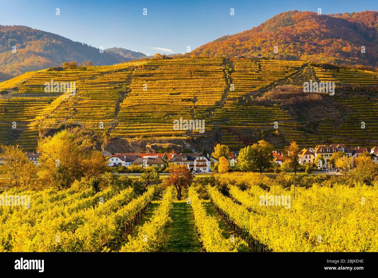 autumn vineyard in Wachau region, Austria. Stock Photo