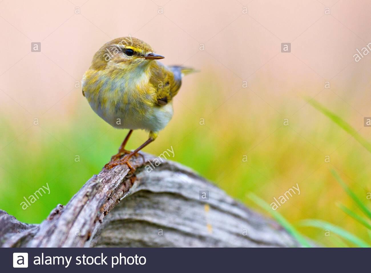 Willow Warbler, Phylloscopus trochilus, Mosquitero Musical, Castilla y León, Spain, Europe. Stock Photo