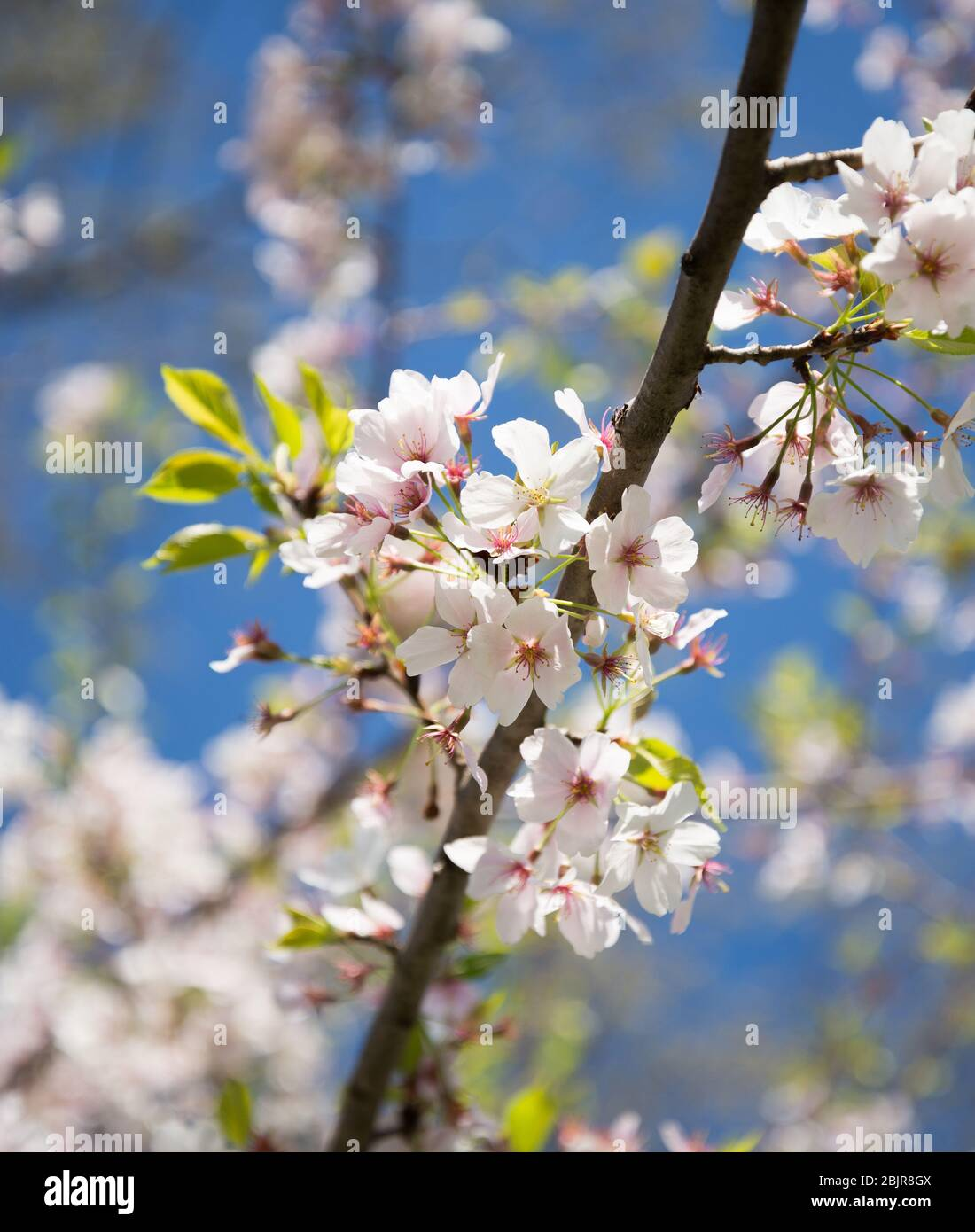 Close Up Of Yoshino Cherry Blossoms At The National Cherry Blossom Festival In Washington Dc Stock Photo Alamy,Perennials Plant With Purple Flowers And Green Leaves