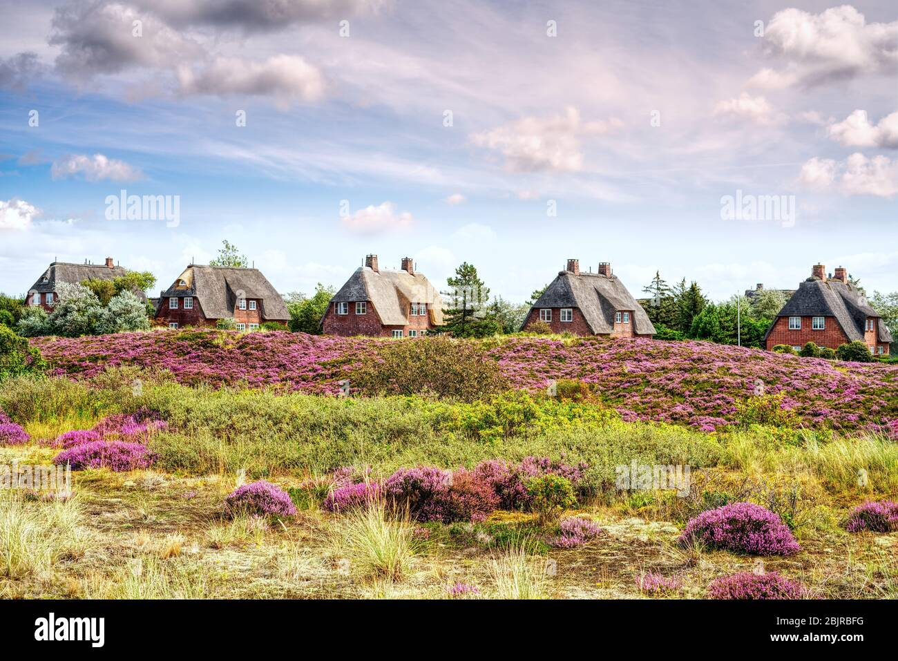 Thatched cottages with blooming heather growing on the dunes. Fairytale panorama landscape on the island of Sylt, North Frisian Islands, Germany. Stock Photo