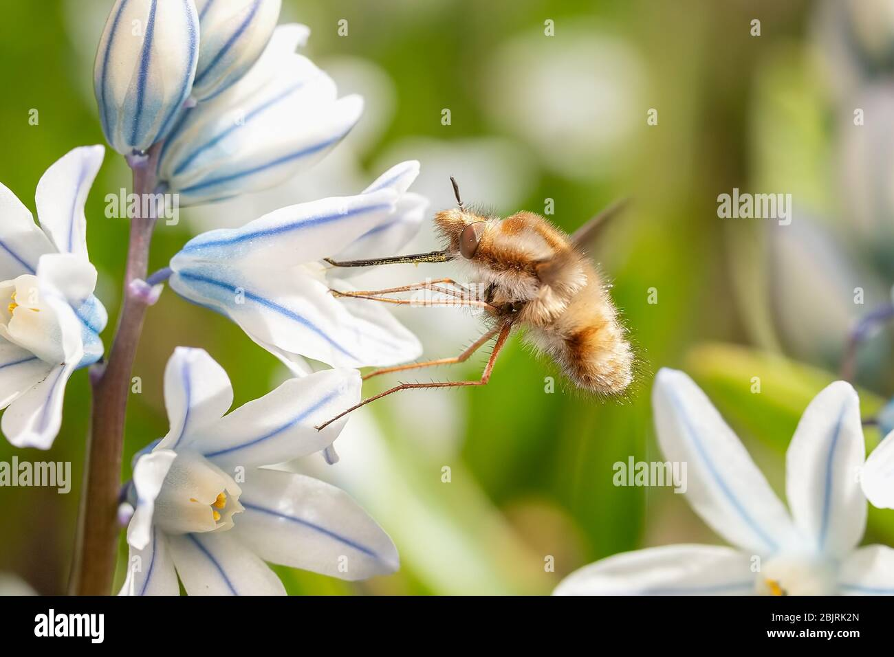 Bombylius major bee-fly feeding on a small striped squill flower Stock Photo