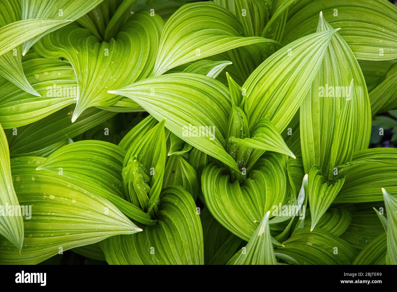 Top down view of the wavy green leaves of veratrum viride, a North American false hellebore, taken in the Cranberry Glades WMA of West Virginia. Stock Photo