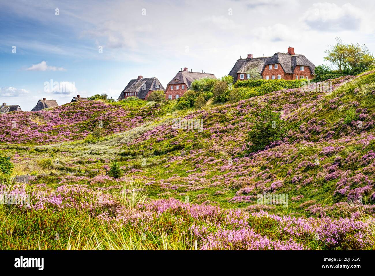 Heather in bloom and thatched cottages in the dunes. Fairytale landscape panorama on the island of Sylt, North Frisian Islands, Germany. Stock Photo